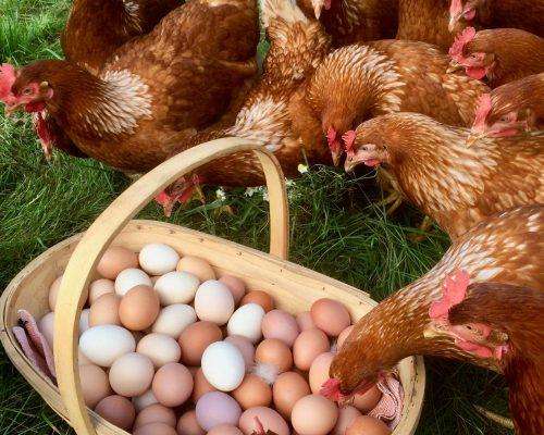 Historien bag vores høns & æg